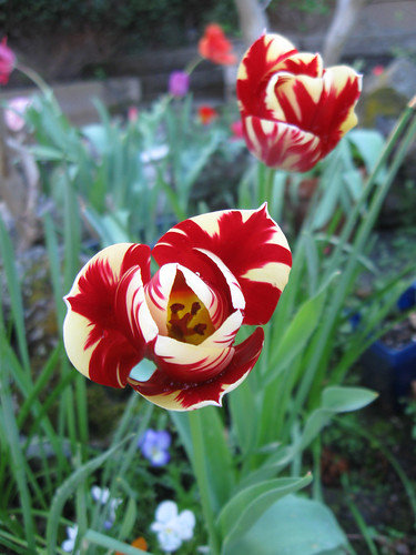 red stripe tulip 2