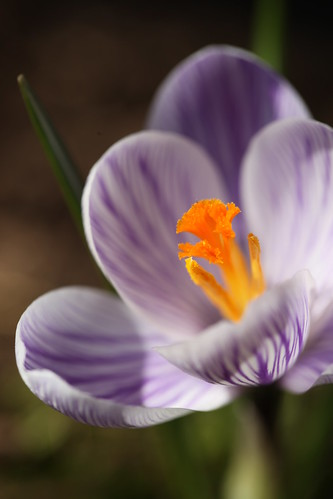Spring Crocus by conniee4 aka Connie Etter