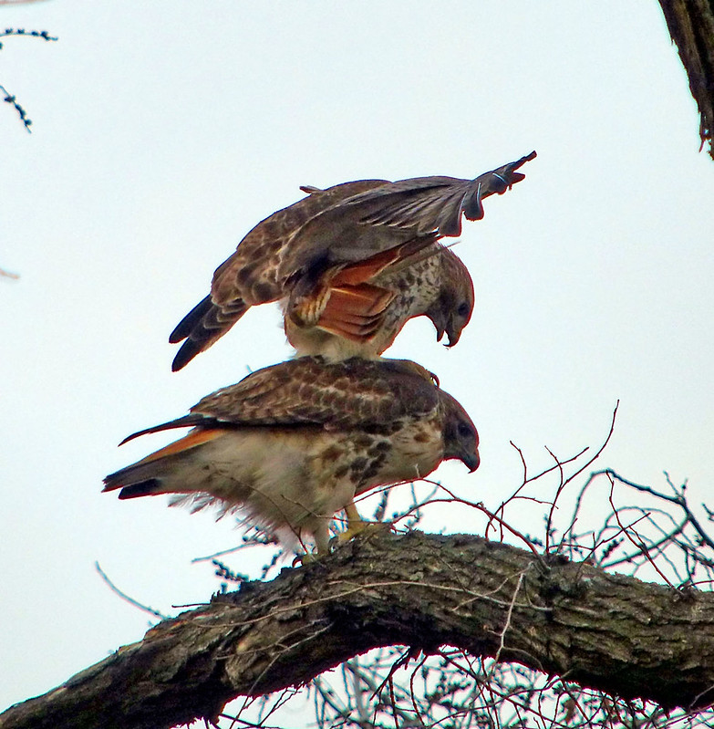 Red tails mating in Tompins Square