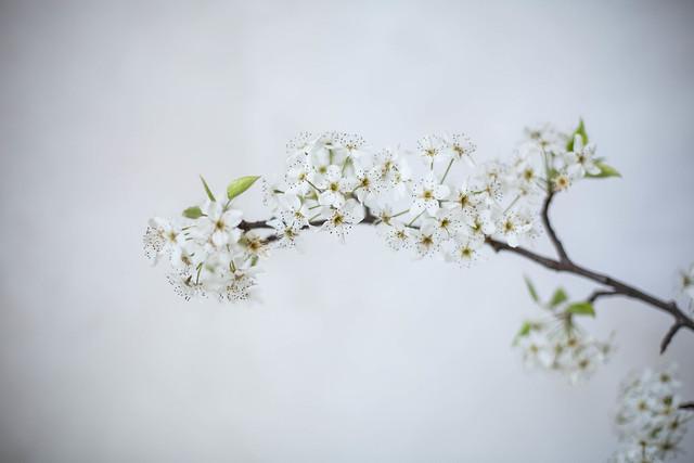foraged spring florals, bradford pear