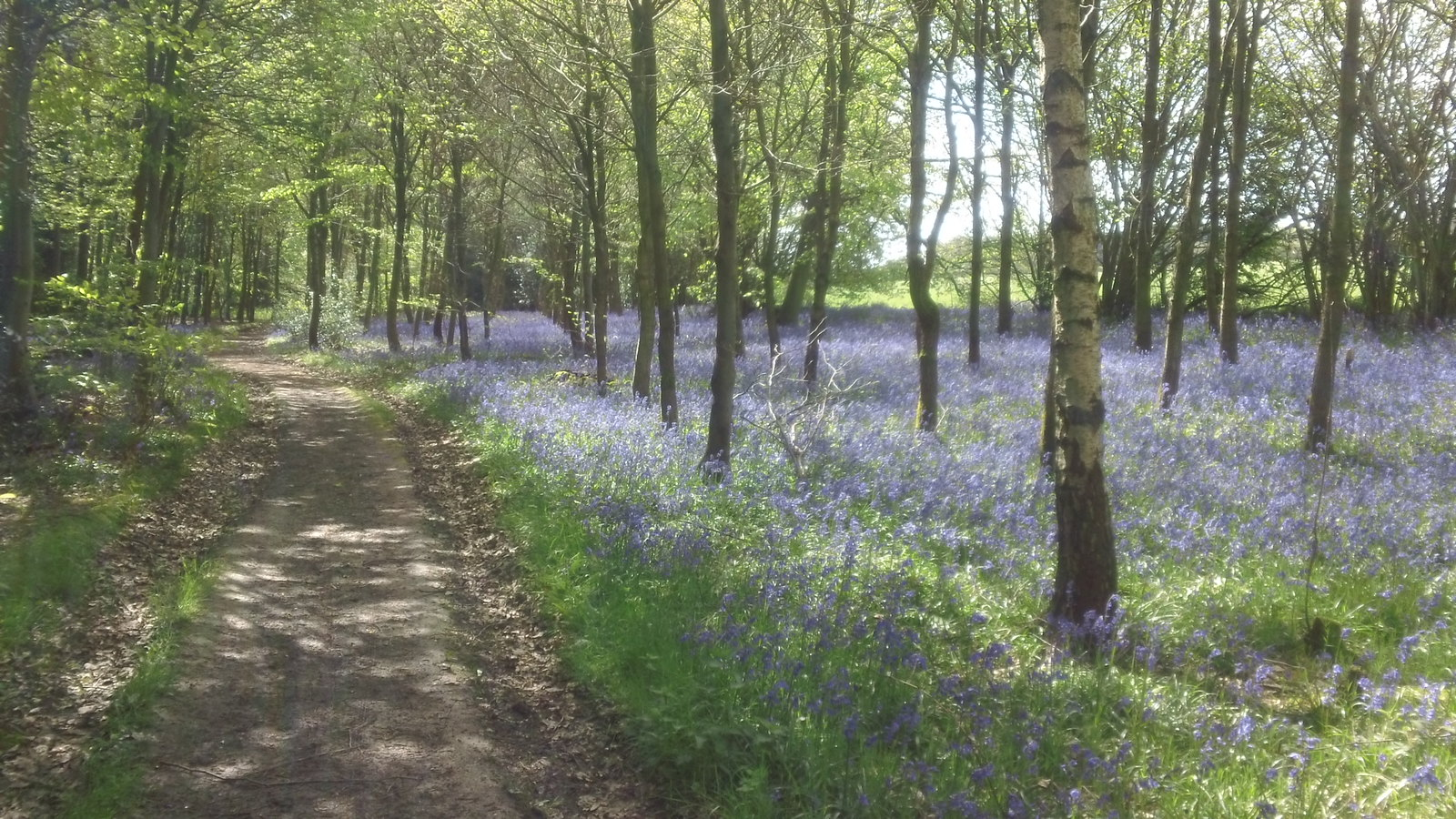 Bluebell woods still thriving Heading west to point 2 and a common, and more woods etc.