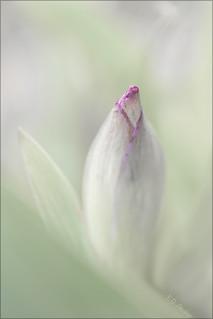 _FD15268  Iris
