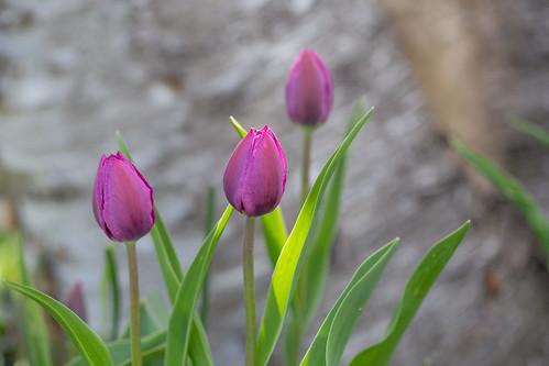 05-14 Tulips-2826