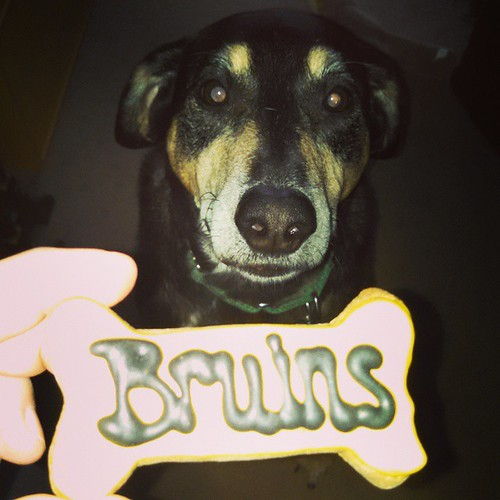 Tut showing his support for @bruinshockey and Bergeron in the All Star Game! #dogstagram #instadog #bostonbruins #bruins #dogtreat #happydog #rescued #coonhoundmix #adoptdontshop