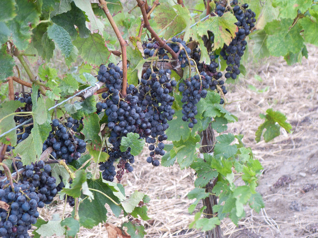 Grapes on the vines at winery tour