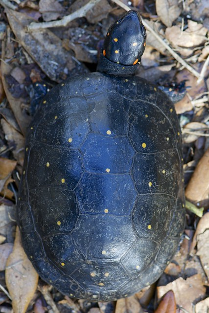 Clemmys guttata - Spotted Turtle (CGUT-A2)