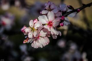 Flor de Almendo  -  Almond Blossom