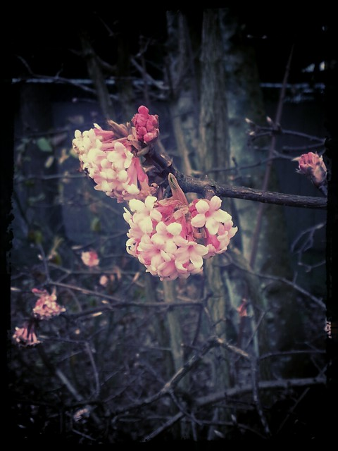 Blossoms in January.