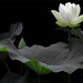 White Lotus Flower by Bahman Farzad