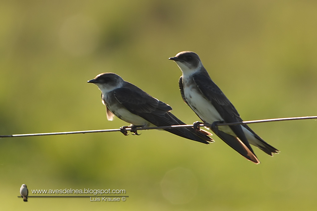 Golondrina parda (Brown-chested Martin) Progne tapera67