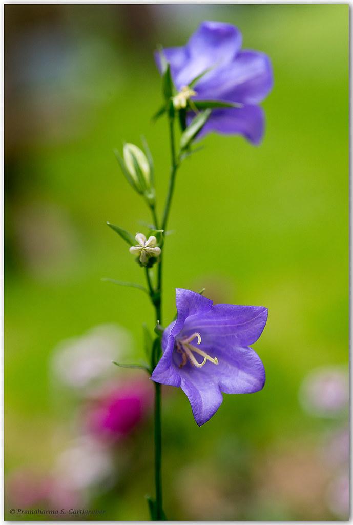 Blumenglocken, die froh locken...