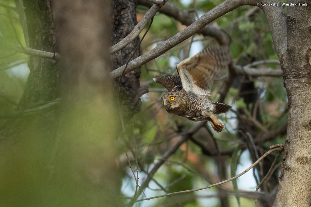 Jungle Owlet in flight