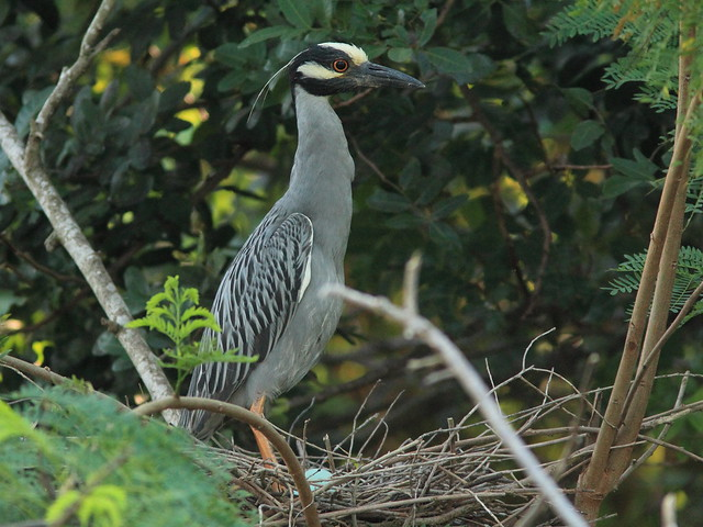 Yellow-crowned Night-Heron 10- nonHT female with eggs 20130519