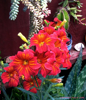 SALPIGLOSSIS - Our Patio, Ventura, CA.