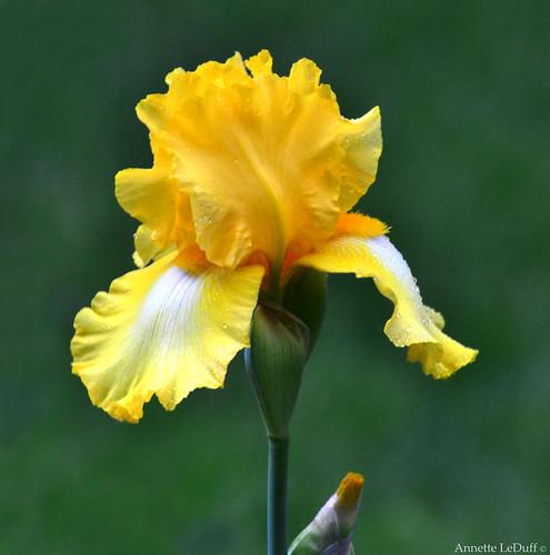 Invigorated Iris