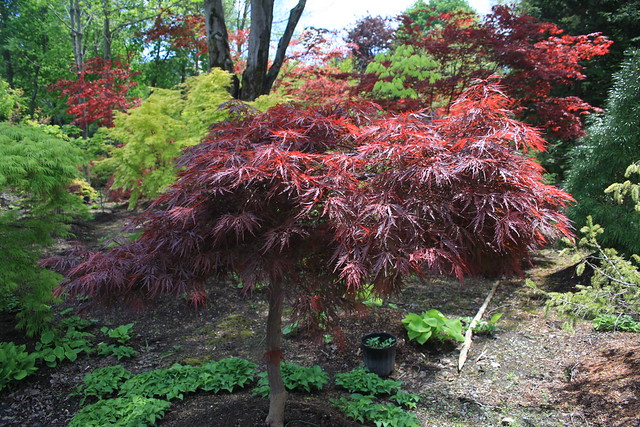 Acer Palmatum Dissectum Red Dragon Flickr Photo Sharing