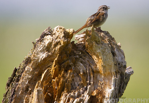 Swamp Sparrow by Ricky L. Jones Photography
