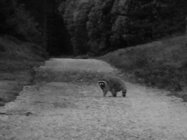Raccoon in Golden Gate Park, San Francisco (2013)