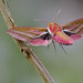 Deilephila elpenor in flight (Elephant Hawk-moth, groot avondrood) by Rob Blanken (www.rbblphotography.com)