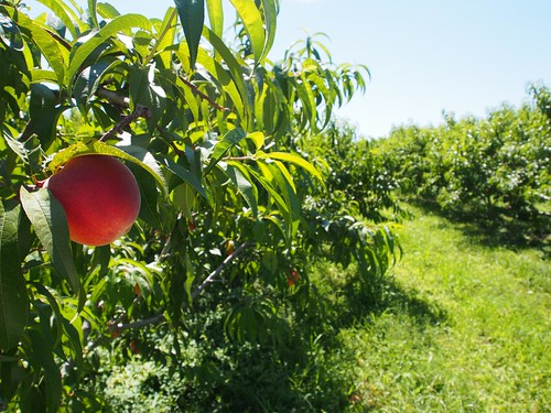 Peach In The Orchard