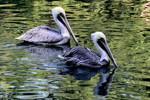 Pelicans at the Bronx Zoo