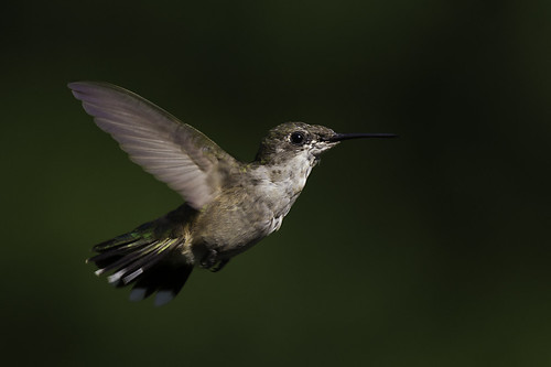 Immature male Ruby Throated Hummingbird