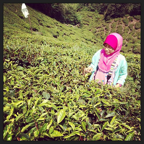 #tea plantation #cameron highland