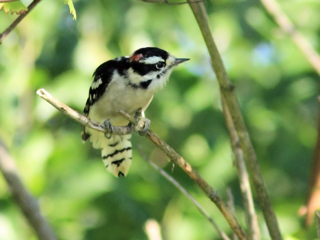 Downy Woodpecker 20130904
