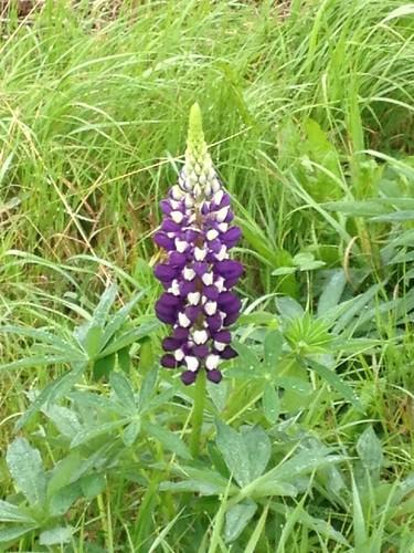 umea flower