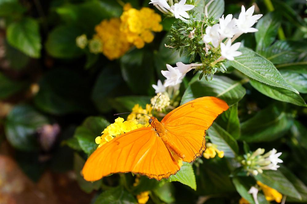 美洲蛺蝶 Dryas iulia-1