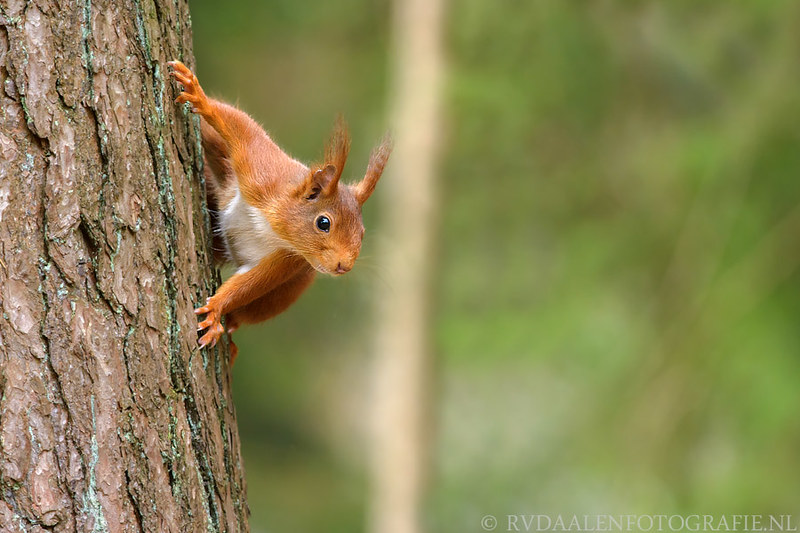 eekhoorn red squirrel Sciurus vulgaris29_ by RVDaalenfotografie