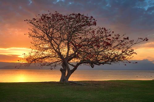 Illawarra Tree