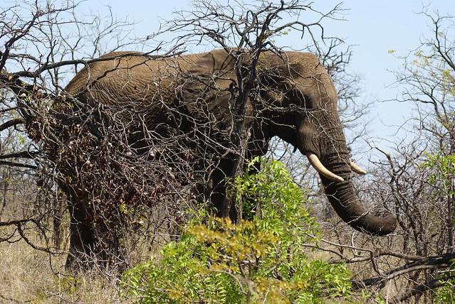 Elefante, Kruger