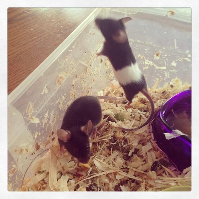 Meet Dolce & Gabanna my@new mice babies! #Dolce&Gabanna #mice #presents #babies #love #cute #christmas