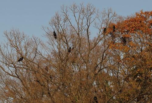 秋冬之景,博物館前的樹梢上,烏鴉在發言。攝影:范欽慧。