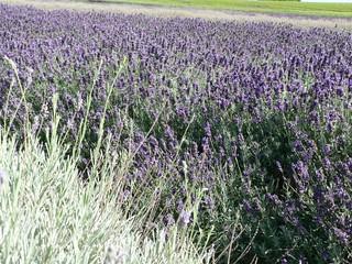 WHB#46 Lavendelfeld 001