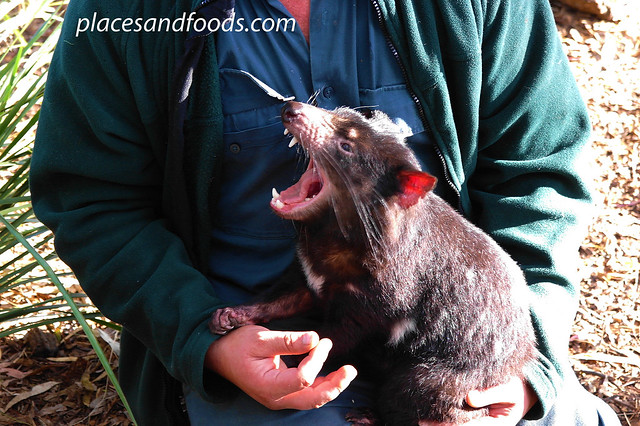 bonorong screaming devil