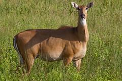 animal, prairie, antelope, deer, fauna, meadow, impala, pasture, grassland, wildlife,