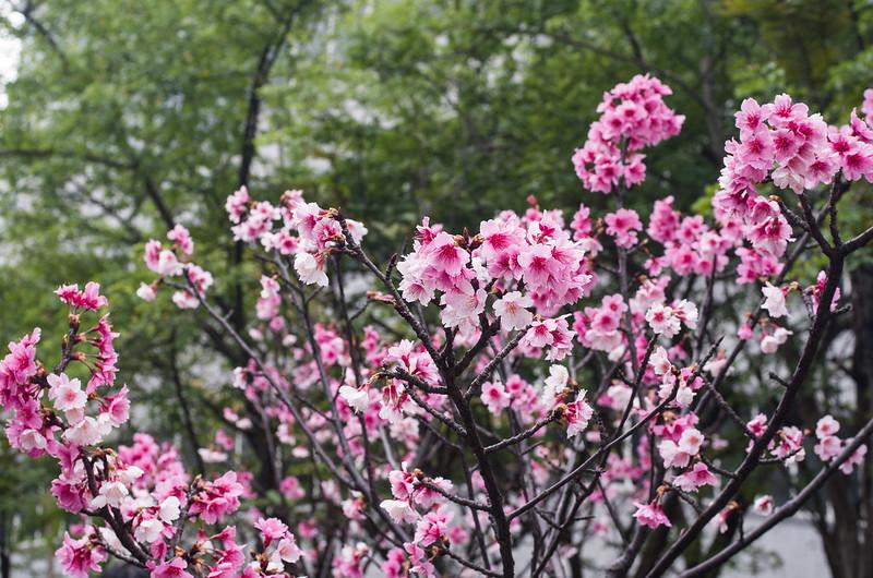 園區的櫻花開了