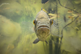 Stock Photo Oscar Cichlid Astronotus sp Venezuela Images DSC00854