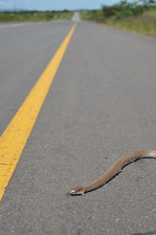Dead Mozambican viper in Swaziland