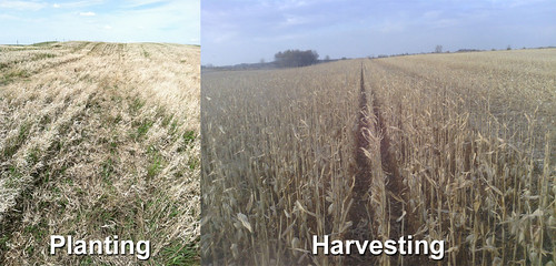 Mark Jennings plants corn using no-till, and this harvest is the result.