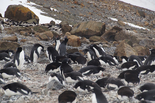 069 Brown Bluff  Adeliepinguins