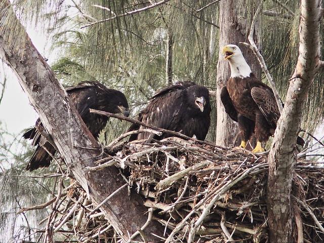 Bald Eagles Honor Glory Pride 20140330