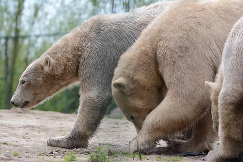 Eisbären Noordje. Frimas und Pixel  im Dierenrijk in Mierlo