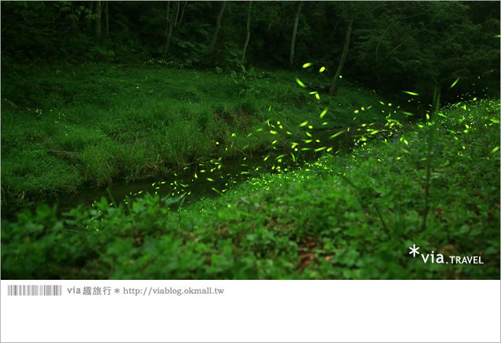 【台中螢火蟲】東勢林場螢火蟲~賞螢必遊!滿滿的螢火蟲閃爍夢幻光芒14