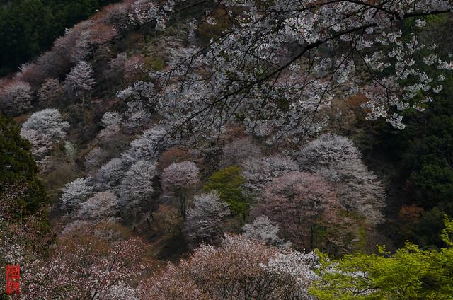 「桜遠望」 吉野山 - 奈良