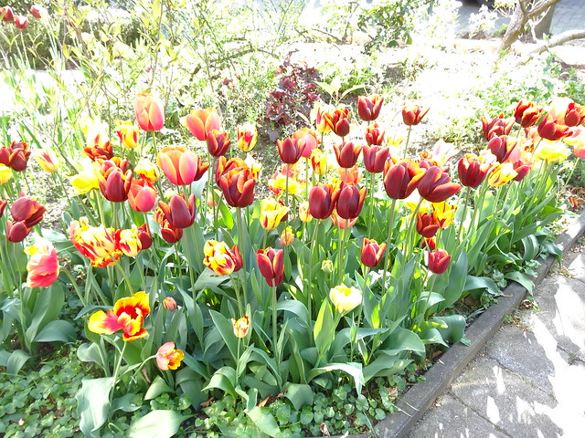 Tulips galore