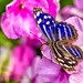 Banded Purple Wing (Myscelia cyaniris) - Hidden Jungle - San Diego Zoo Safari Park by SARhounds