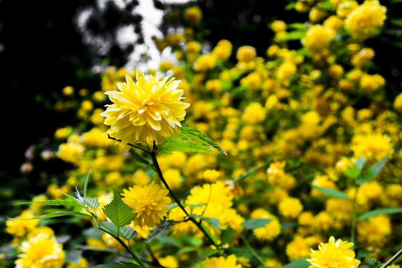 Yellow flowers in Arboretum Kórnickie